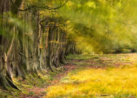 Beech Trees in the Wind.jpg