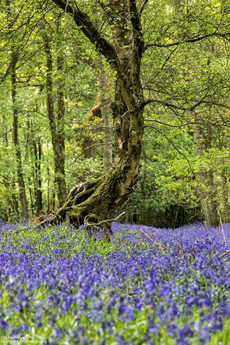 Twisting in the Bluebells.jpg