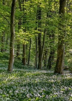 Wild Garlic Woods.jpg