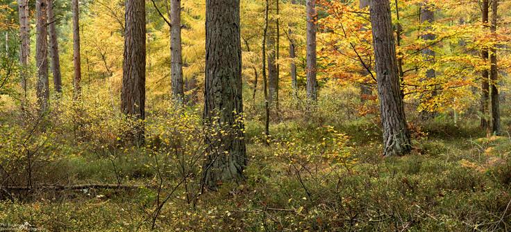 Autumn Pines.jpg