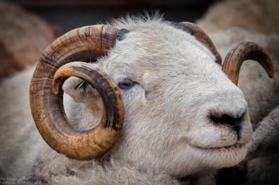 Herdwick Ram