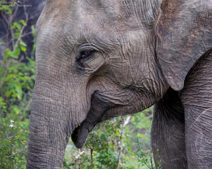 Yala Elephant.jpg