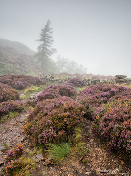 Side Pike Heather and Mist