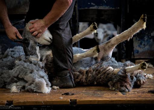 Herdy Shearing