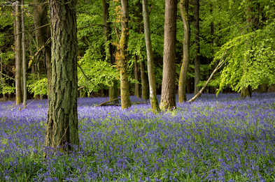 Flakebridge Wood Bluebells.jpg