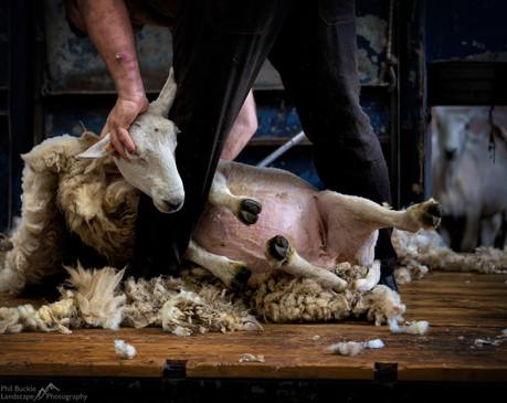 Cheviot Shearing