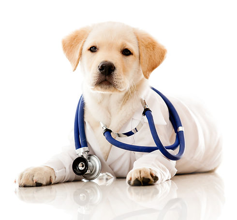 Little dog as a vet wearing robe and ste
