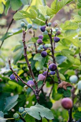 Les figuiers du jardin ont donné un peu plus de 100Kg de fruits cette année