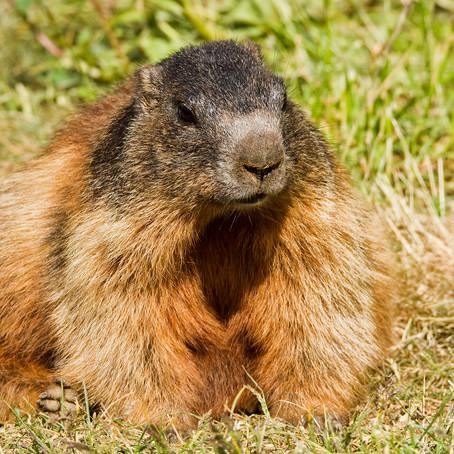 Murmeltiere / Marmotte / Marmots auf der Franzenshöhe ...
