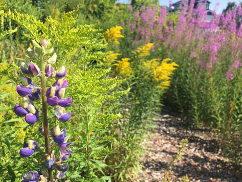 Lupin, Goldenrod and Fireweed