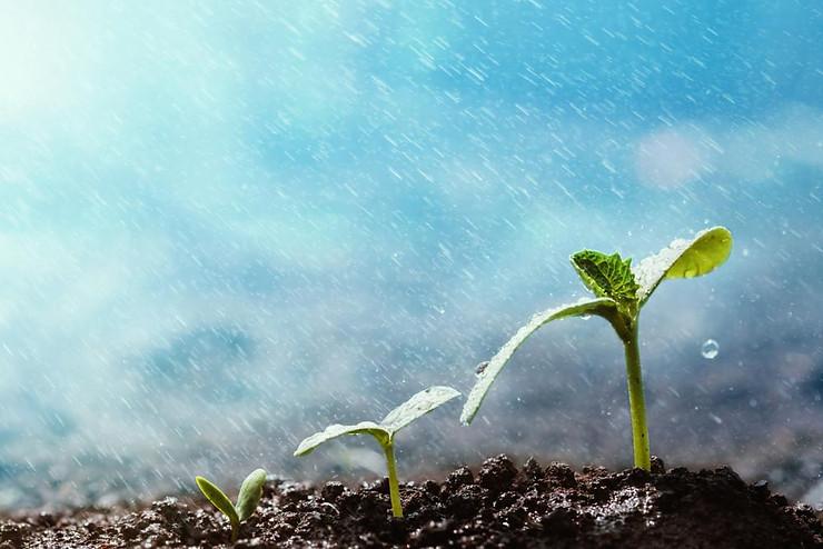Sử chế phẩm Sômin cho cây sau khi mưa giúp phòng bệnh cây trồng