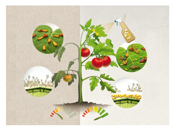 Chế phẩm sinh học Sômin cung cấp hệ vi sinh vật có lợi phòng bệnh cây trồng