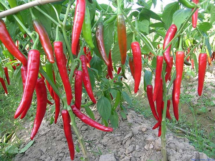 Sử dụng Sômin cho ớt giúp cây chắc cây, tán rộng