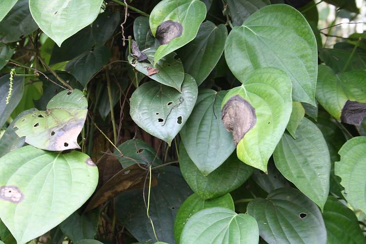Bệnh cây trồng do vi khuẩn, vi rút gây ra