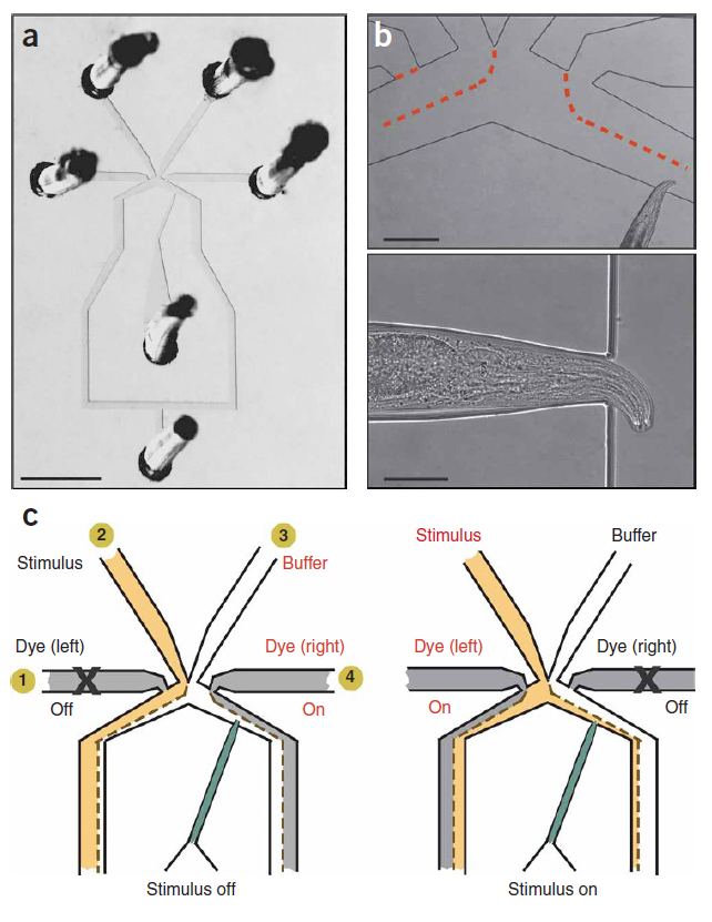 Diagram of microfluidics chip designed for calcium imaging in C. elegans.