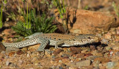 Iguana chilena