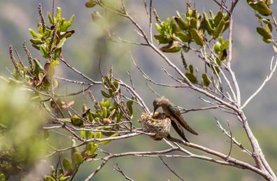 Picaflor gigante y su nido