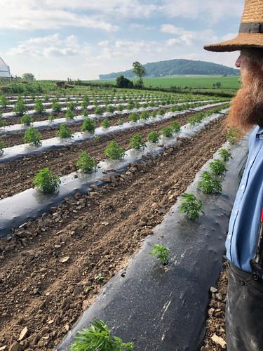 Amish Grown CBD Hemp