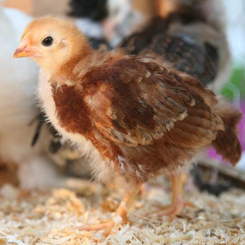 """Czech """"Easter Egger"""" Chickens"""
