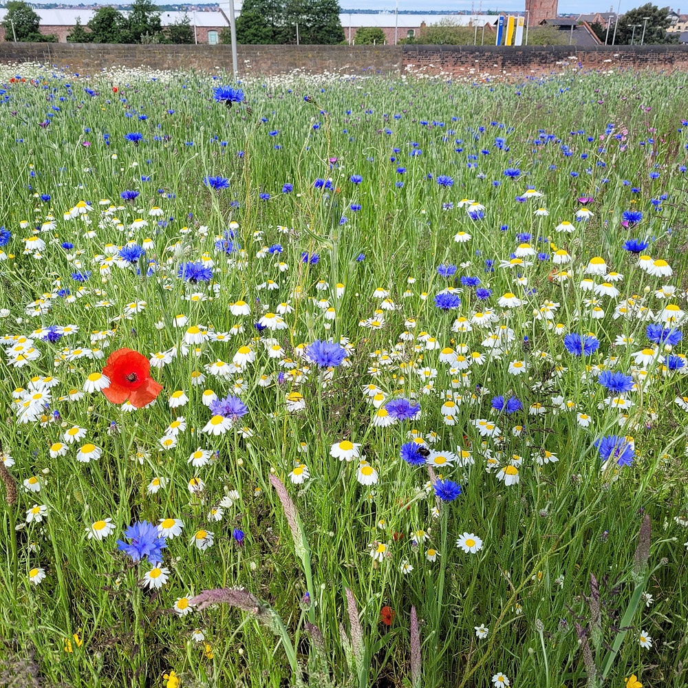 A wildflwoer meadow full of poppies, cornflowers and ox eye daisies amongst long grass stretches dow na bank toward a brick wall, with warehouses, the River Mersey and the Wirral Peninsula just visible in the distance.