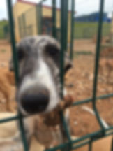 Galgo at shelter