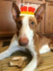 Royal Sighthound
