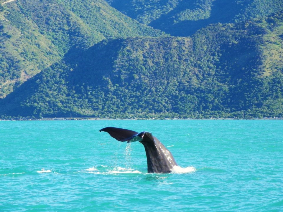 Whale watching in New Zealand (Sperm Whale)