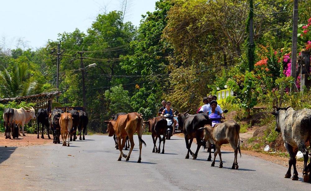 India, Cows, Goa, India, Agonda beach