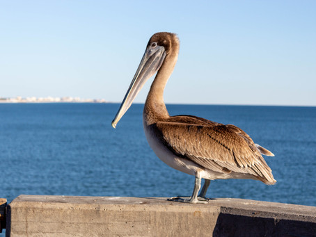 """""""Al the Pelican"""" is first of many to be rehabbed & released from ECWF"""