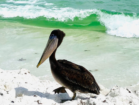 """""""Taco"""" the Pelican Safely Released After Knife Found in Stomach"""