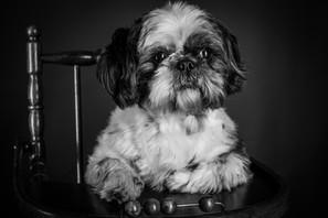 Portait chien - photographie - Chien