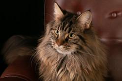 Chat de compagnie - photographie animalière - Lorraine