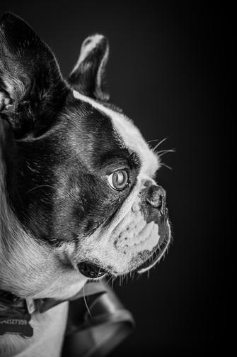 Portrait chien Noir et blanc