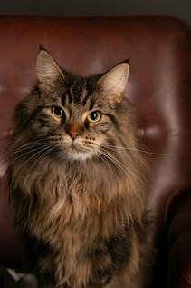 Chat tigre - Grand chat - Maincoon