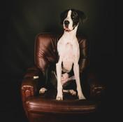 Dogue - grand chien - photo
