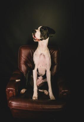 Canapé en cuir - chien - Photographe Strasbourg