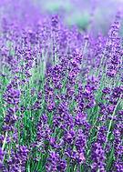 2_Lavender.jpg