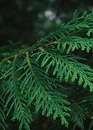 4_Cedar Tree.jpg