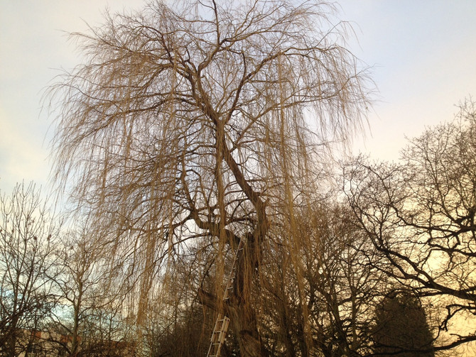Willow Tree removal in Borehamwood