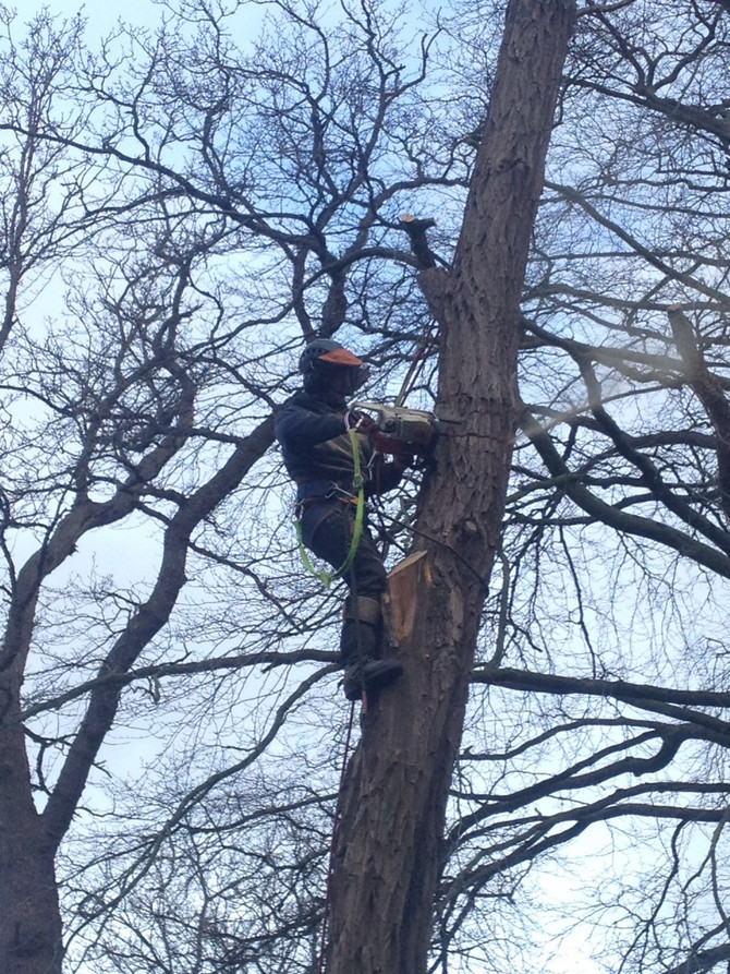 Felling of rotten Acacia and Deadwooding various trees in North London