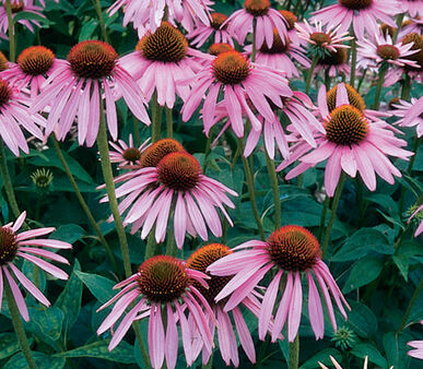 How Does Echinacea work?