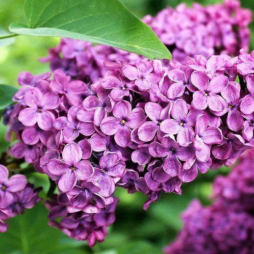 Lilac -Wax Melts