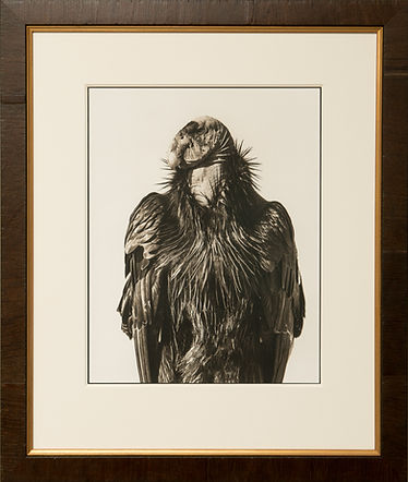 California Condor, Palladium Print