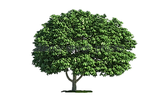 Chestnut Tree Cl Nursery