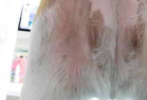 イヌのマラセチア性皮膚炎 治療後