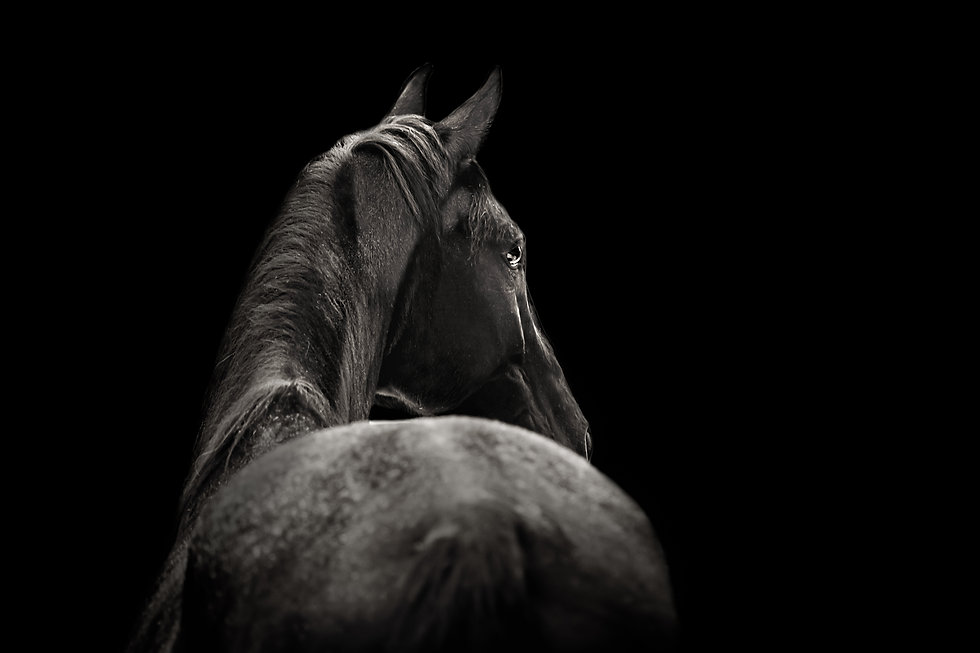 Beautiful black horse posing for portrai