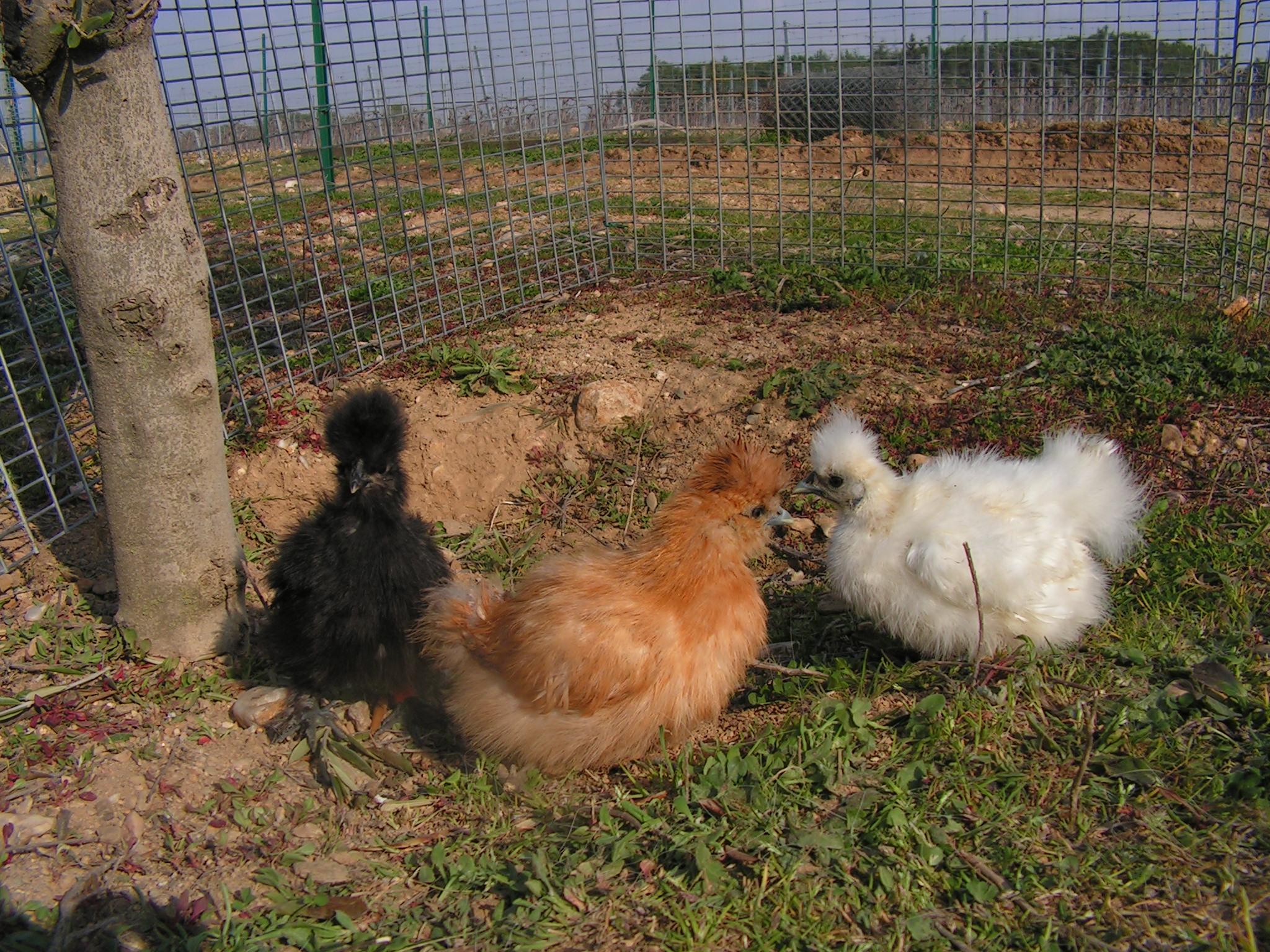 Elevage plume et poil poules