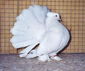 Elevage plume et poil cazouls les beziers : Paon Indien