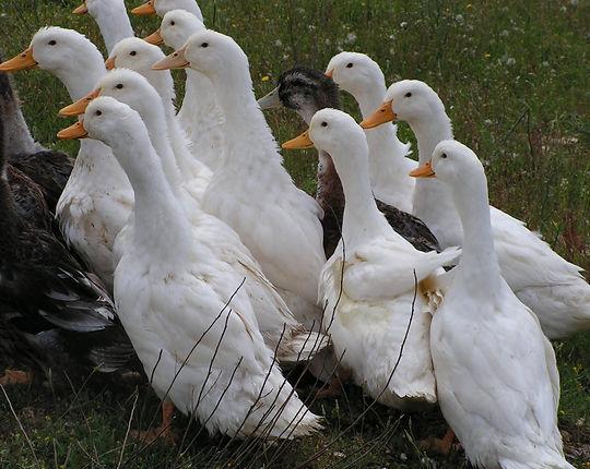 Elevage plume et poil cazouls les beziers : Canard de Pekin