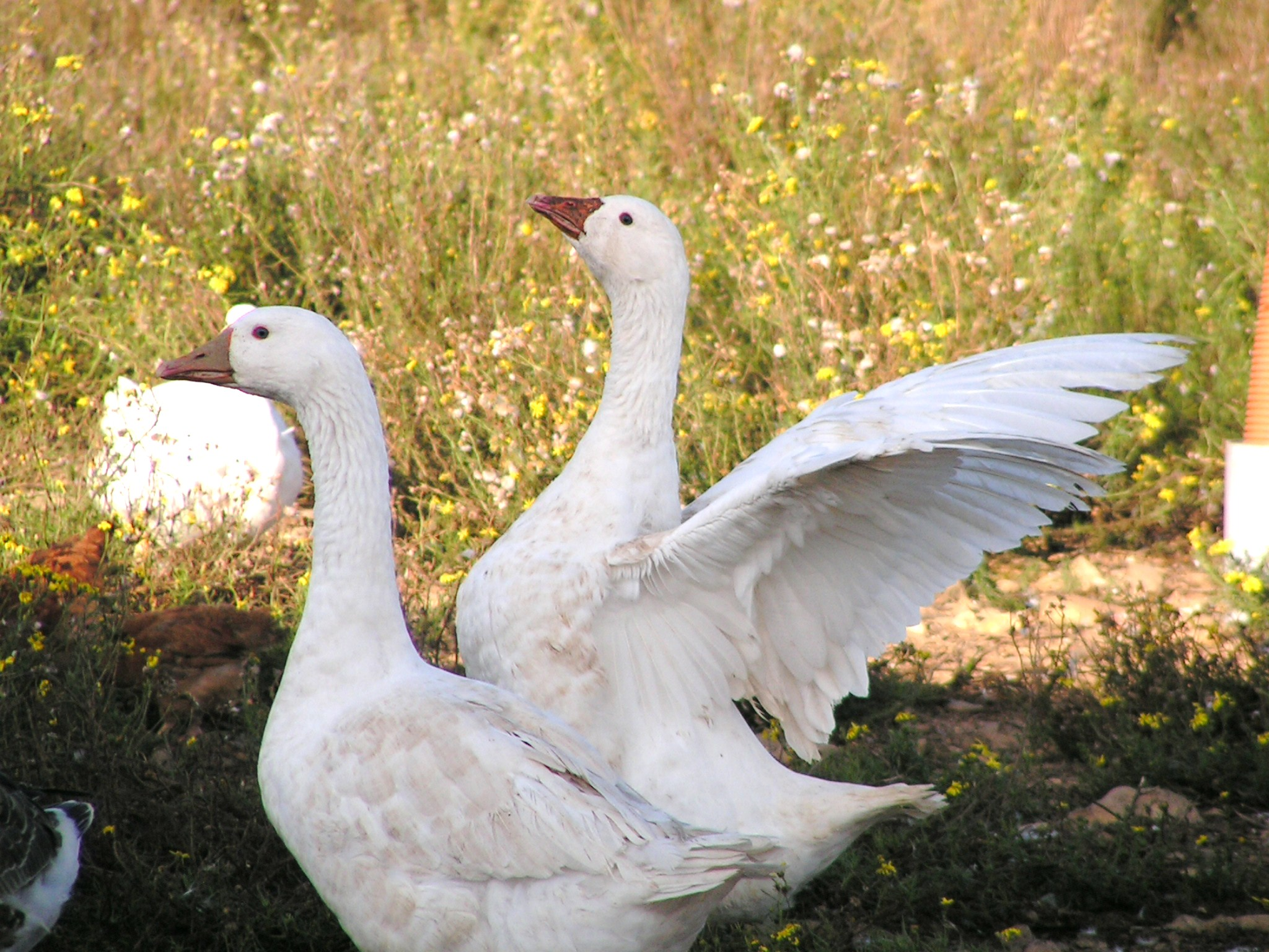 Elevage plume et poil dans l'herault
